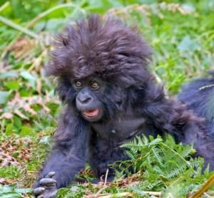 shocked baby gorilla