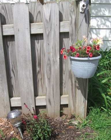 Decorating the fence line with petunias.