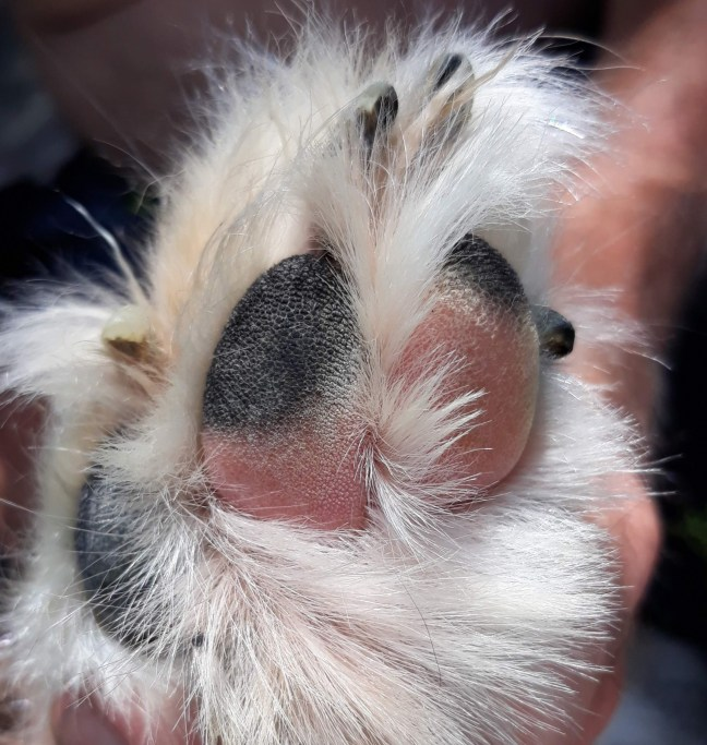 close-up of dog paw with black and pink pads