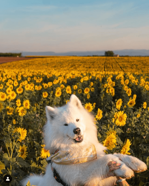 samoyed wanderlust in field of sunflowers