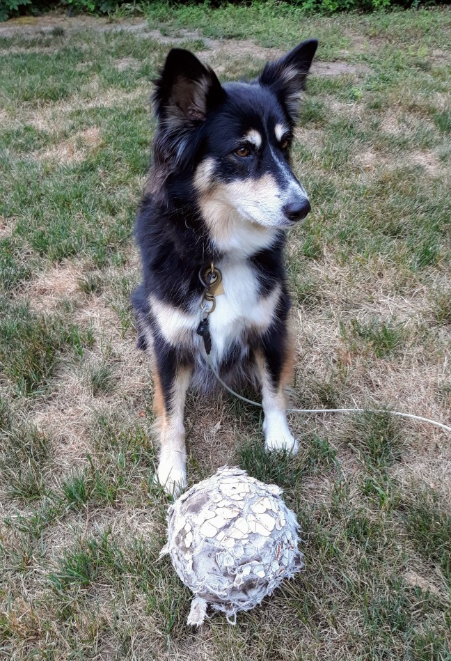 black tri-colored shepherd dog with tattered old soccer ball