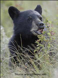 black bear cub in tall grass eating berries from a bush