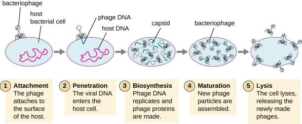 CRISPR - phage cycle
