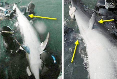 vestigial dolphin legs