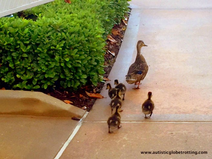 Our Family Stay at Disney's Grand Floridian duck