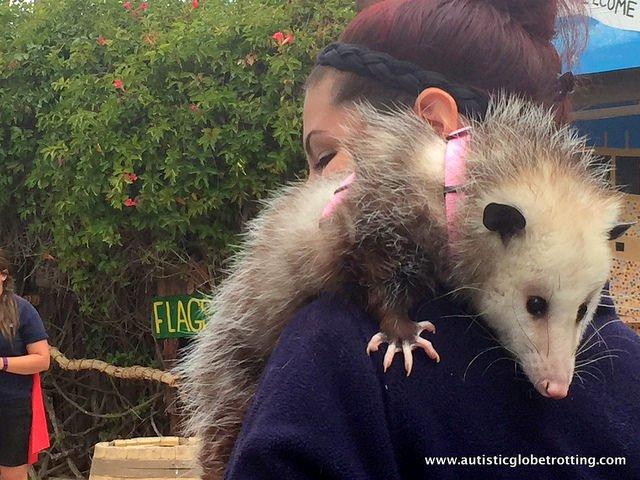 Family Fun at the California Moorpark Teaching Zoo possum