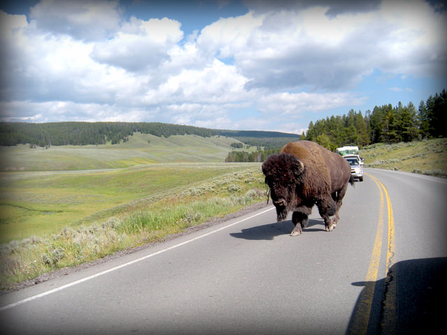 Autisticglobetrotting's Top Ten Unforgettable Animal Encounters buffalo