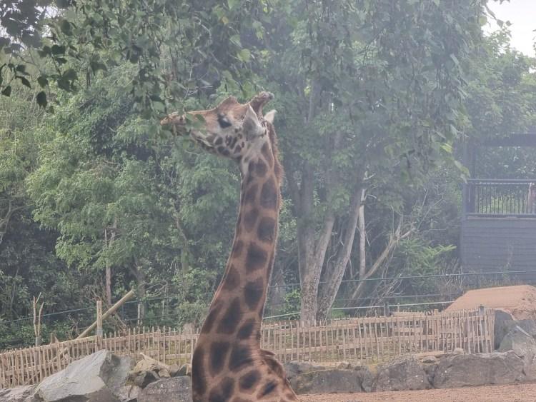 A giraffe at Belfast Zoo