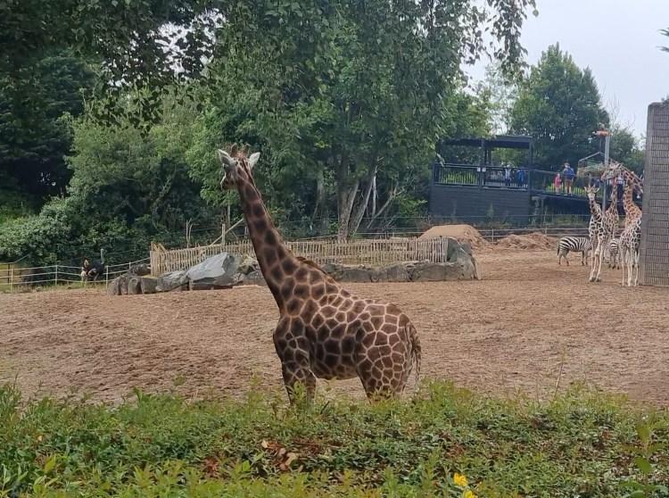 Giraffes and Zebras at Belfast zoo