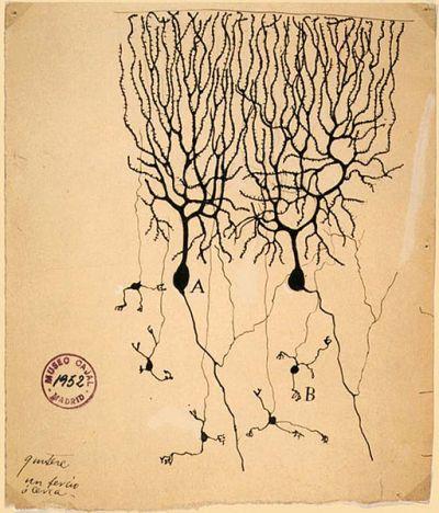 Dibujo de Santiago Ramón y Cajal de las neuronas del cerebelo de una paloma (A) Célula de Purkinje, un ejemplo de neurona bipolar (B) célula granular que es multipolar.