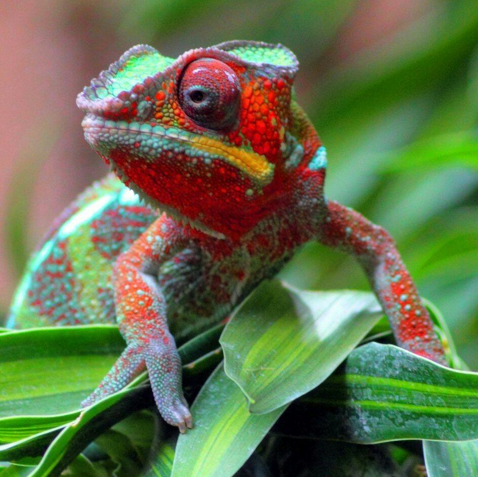 chameleon_desktop_wallpaper_1