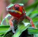 chameleon_desktop_wallpaper_1