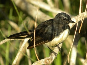 willy-wagtail-rhipidura-leucophrys-1619436