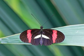postman-butterfly_z1alodku