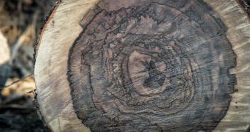 Bentley-drevo-Liquid-Amber- (6)
