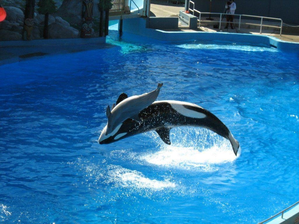 Latest Killer Whales Wallpapers Wallpaper Cave Free Download