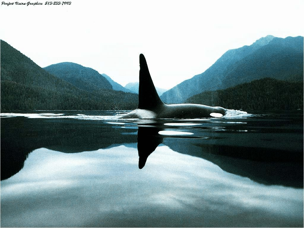 Latest Orca Pictures Kids Search Free Download