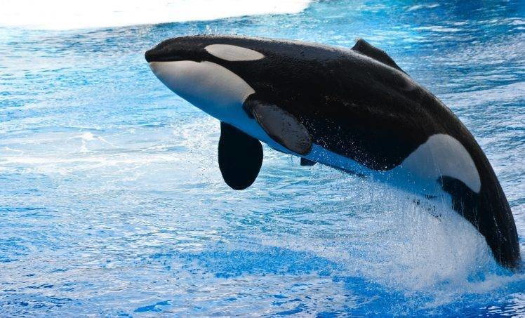 Latest Orca Animals Whale Water Jumping Wallpapers Hd Free Download