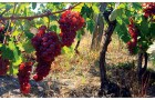 Bagrina – Danube Valley wine secrets