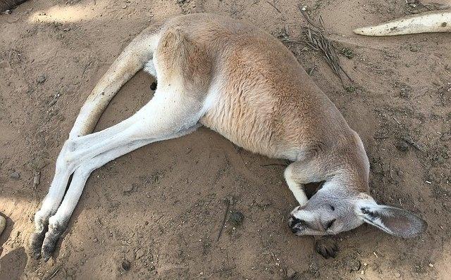 kangaroo-1276062_640_mini