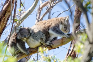 Pinnacles Sunset, Yanchep National Park Koalas, Autopia Tours