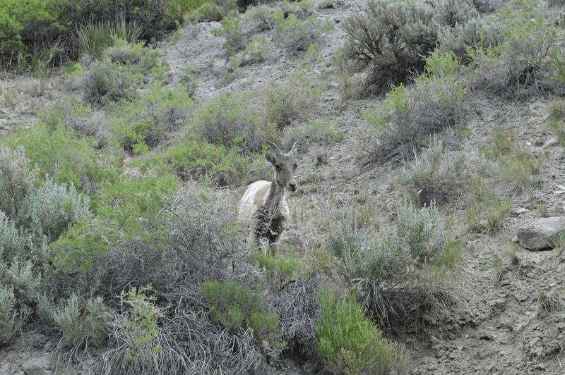 grannie geek big horn sheep lamb yellowstone national park