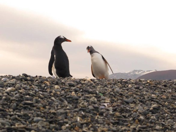 Gentoo penguins checking out the camera. Photo: Nathaniel Chaney