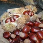 Fresh picked organic chestnuts