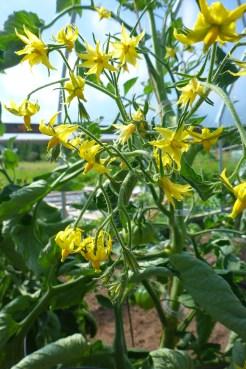 Tomato blossoms, 'Stupice'