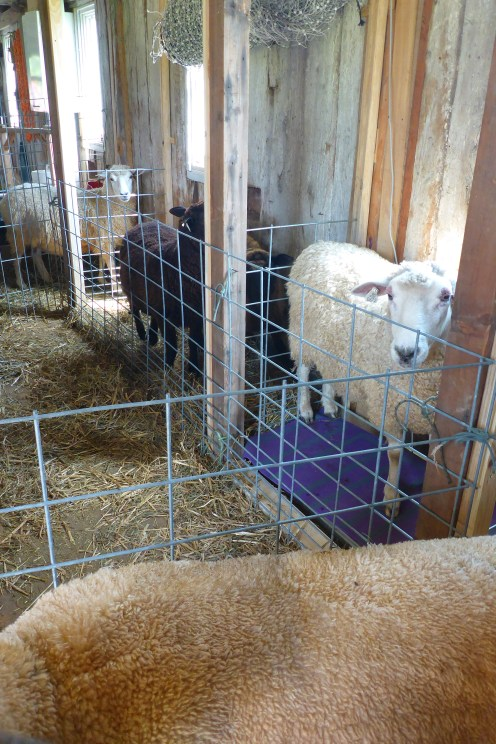 Once the sheep are in the chute, then I switch the gate to allow them to exit