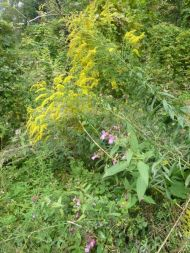 Kanadische Goldrute und Indisches Springkraut im Vormarsch- nicht nur im Auwald.