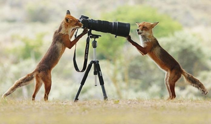 two foxes with camera