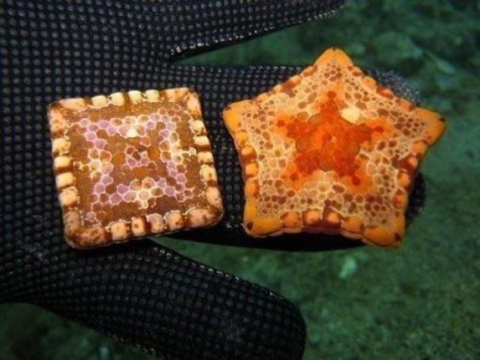 Some 5-Pointed Starfish Can Be Squared Due To Birth Defects