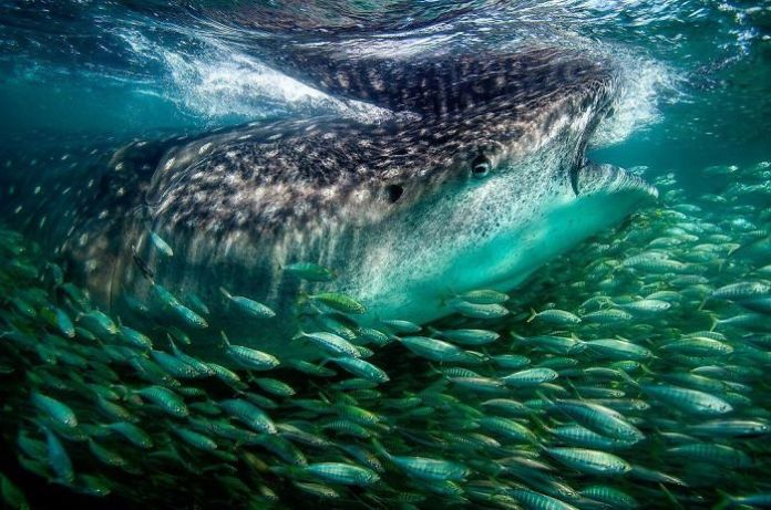 Whale sharks have personalities