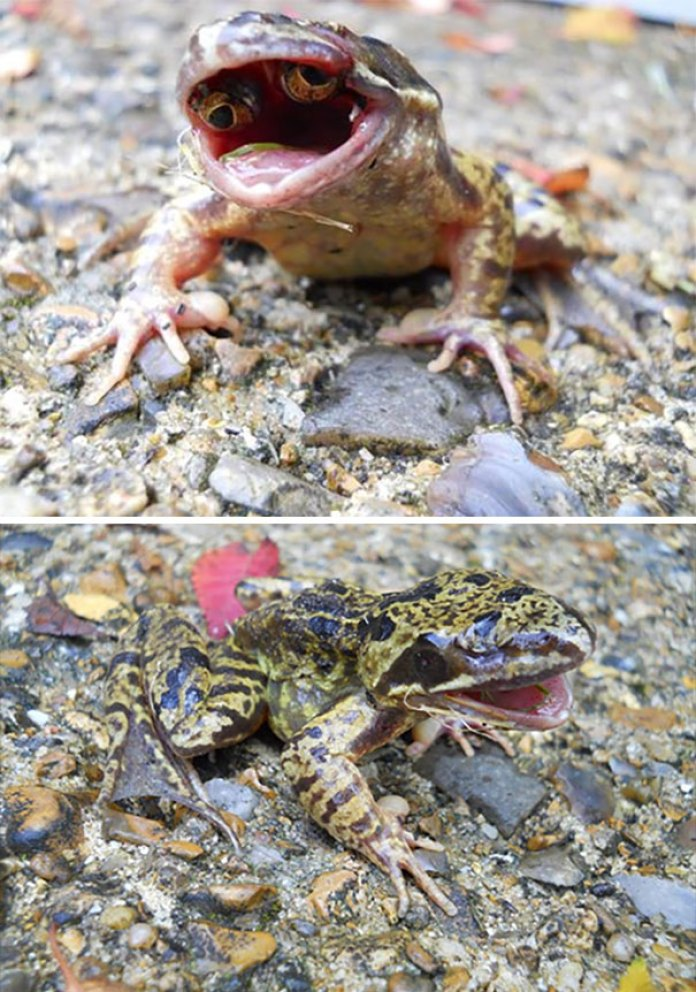 Frog With Eyes In Its Mouth As A Result Of Macromutation