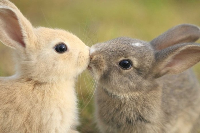 two bunnies kissing