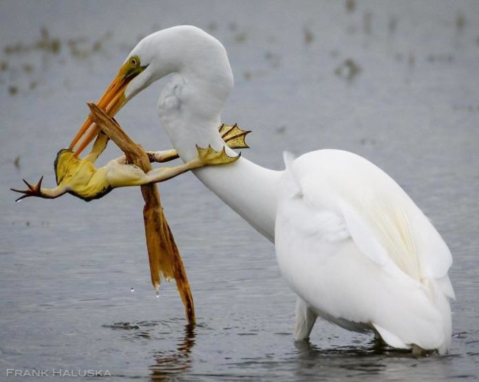 Great Egrets and a frog