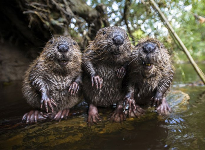 Three Beavers Chilling