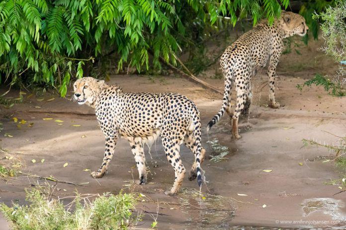 Cheetah brother crossed