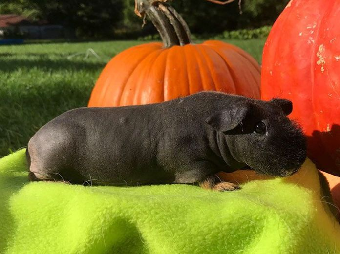 Hairless Guinea Pigs Called 'Skinny Pigs' Look Like Pocket Sized Hippos