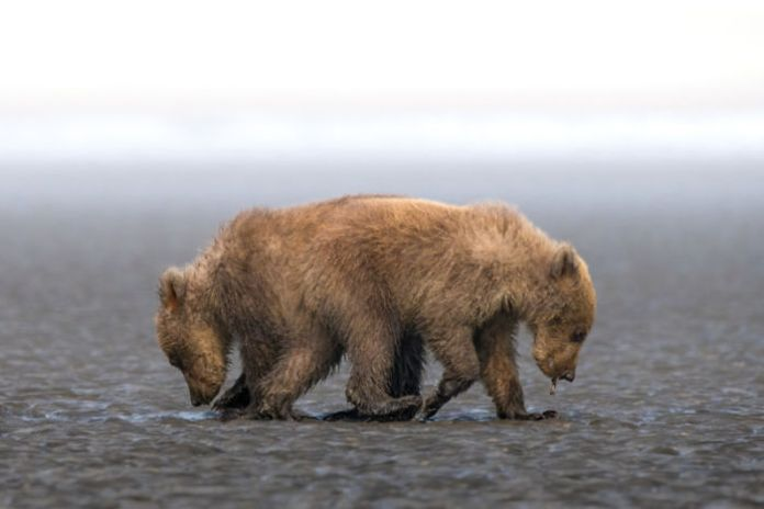 Bifurcate cubs