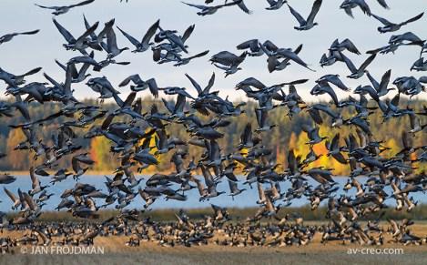Bird_1332/ Barnacle Goose/ Valkoposkihanhi/ Vitkindad gås