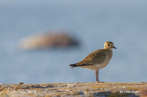 Bird_2270/ Golden Plover (young)/ Kapustarinta/ Ljungpipare