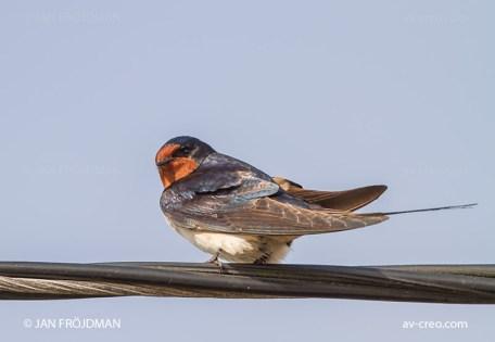 Bird_3037/ Swallow/ Haarapääsky/ Ladusvala