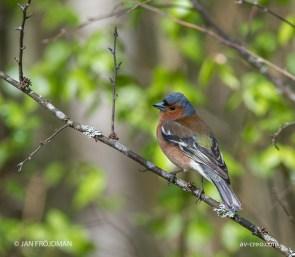 Bird_3161/ Chaffinch/ Peippo/ Bofink