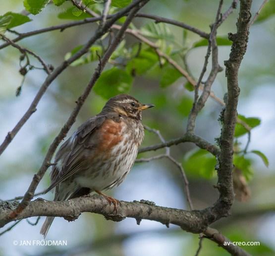 Bird_3581/ Redwing/ Punakylkirastas/ Rödvingetrast