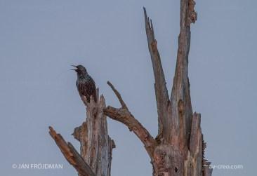 Bird_8183/ Starling/ Kottarainen/ Stare