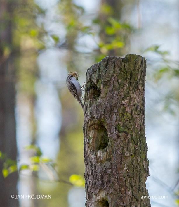 Bird_9832/ Treecreeper/ Puukiipijä/ Trädkrypare