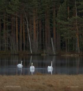 Bird_5872/ Whooper Swan/ Laulujoutsen/ Sångsvan