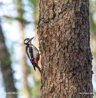 Bird_9160/ Great Spotted Woodpecker/ Käpytikka/ Större hackspett